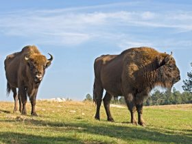 Bisons Europe