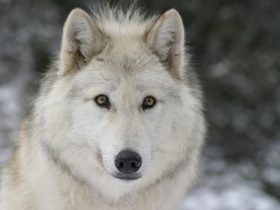 loups-du-gevaudan